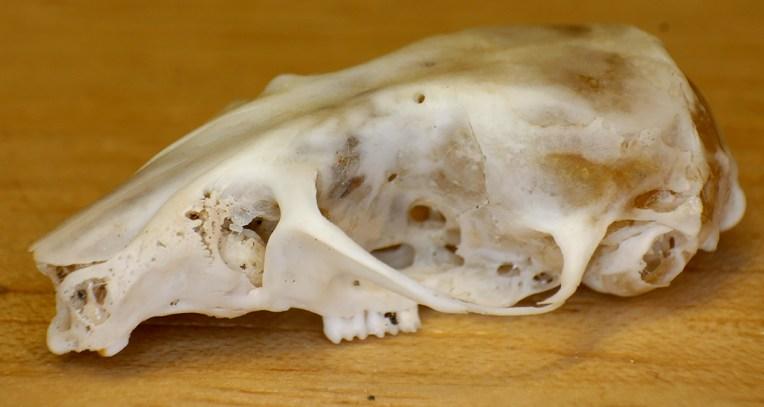 campbells-dwarf-hamster-phodopus-campbelli-skull