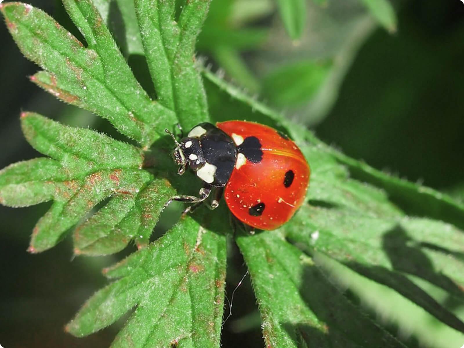 ladybug creative commons
