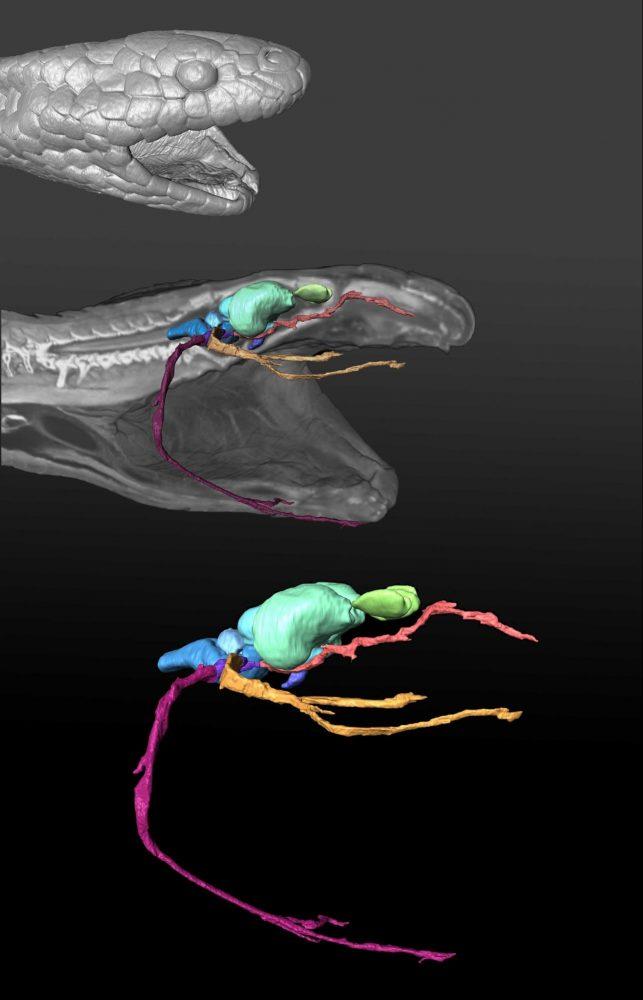 olive sea snake nerves