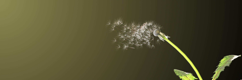 Dandelion in the wind header image